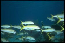 012078 School Of Yellow Tailed Fish A4 Photo Print