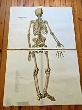 Vintage Human Skeleton Back Medical Anatomy Poster Wall Board Original 1959
