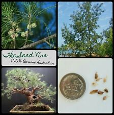 20+ AUSTRALIAN PINE TREE SEEDS (Casuarina equisetifolia) Native Bonsai Garden
