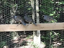 California Valley Quail Hatching Eggs 12 Presale Estimated Ship Date 4/7/21