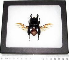 REAL FRAMED BLACK DORCUS STAG BEETLE WINGS SPREAD MOUNTED