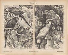 Lithografie 1877: PAPAGEIEN. Inka-Kakadu Arakanga