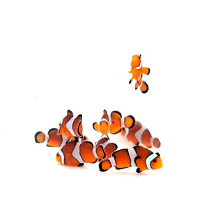 """Sustainable Aquatics Orange Ocellaris """"Nemo"""" 12 Pack"""