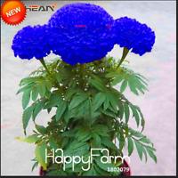 50 PCS Seeds Blue Maidenhair Plants Flowers Herb Marigold Chrysanthemum Bonsai F