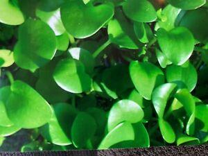 5 Jumbo Amazon Frogbit Floating Plants / Aquarium or Pond  FREE SHIPPING