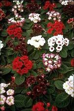 Gloxinia Sinningia Giant Hybrids Annual Seeds