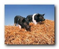Pigs Hay Day Pet Farm Animal Picture Art Print (8x10)
