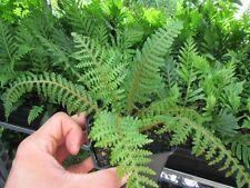 Cyathea tomentosissima - Gebirgs-Baumfarn   15-30cm Pflanze   sehr selten