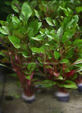 Alternanthera Bettzickian Bunch Red Ficoidea Live Aquarium Plants Buy2Get1Free*