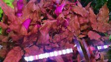 Rare Alternanthera Reineckii Variegated Live Aquarium Aquatic Plant Plants