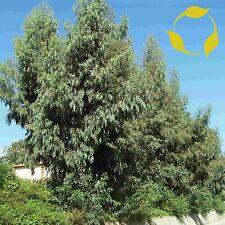 TASMANIAN BLUE GUM Eucalyptus Globulus - 30+ SEEDS