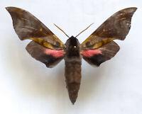 RARE SPHINGIDAE: Anambulyx elwesi / MOUNTED Sphinx Moth Chiang Rai, Thailand A1