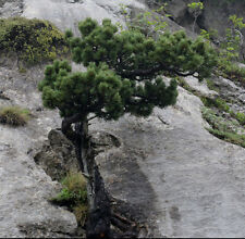 HAKENKIEFER 50 Samen Pinus uncinata Aufrechte Latsche Bergkiefer Kiefer Haken