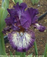 "New listing 1 ""Spiked"" Intermediate Bearded Iris Rhizome"