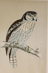c1875 ANTIQUE PRINT ~ HAWK OWL ~ HAND COLOURED British Birds Morris