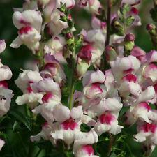 Antirrhinum-Labios suerte - 500 semillas