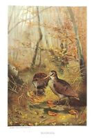 1885 Prang Chromo  WOODCOCK Quail BIRD/Birds VERY NICE COLOR PRINT L@@K!