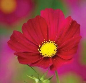 Cosmos bipinnatus 'Dazzler' / Red flowers all summer / 300 Seeds