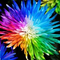 100 pcs/bag Rainbow Chrysanthemum Flower Seeds rare color   JX