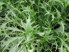 600+ASIAN MIZUNA MUSTARD Seeds Organic Non-Gmo Spring/Fall Garden Container