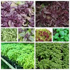 100 Basil Herbs Seeds Ocimum 15 Kinds Home Garden Organic Fragrant Spice Plants