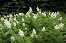 SOLOMON'S PLUME Maianthemum Racemosum Hardy Perennial 3 Rare Seeds