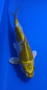 """12"""" Hariwake Ogon KOI, live Japanese KOI Miami Fish Garden & Hatchery"""