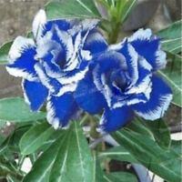 """5 pcs desert rose (adenium obesum) flower bonsai """"Blue Witch"""" seeds #D053"""