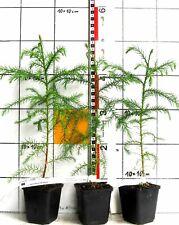 """Cryptomeria japonica  --  Japanische Sicheltanne  /  """"Sugi"""" der Japaner"""