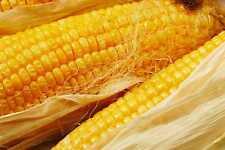 50 Yellow Corn Seeds Maize Zea mays Organic Heirloom Native Variety Makkacholam