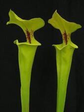 Carnivorous Sarracenia flava var rugelii, Telogia