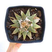 BIGGG Ariocarpus retusus cv GREEN STAR x furfuraceus 10,5cm NO crested IG08