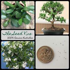 20+ JADE PLANT SEEDS (Crassula ovata) Succulent Bonsai Indoor Friendship Lucky