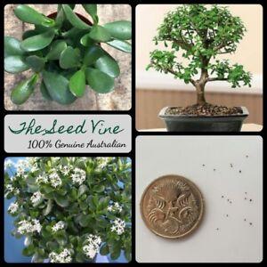 Indoor Full Sun Bonsai Seeds For Sale In Stock Ebay