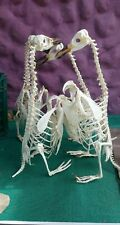 Taxidermy Collectible birds,Great Penguin skeleton, Beached With customs permit,