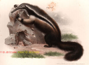 Anteater, Great Anteater, Beautiful Antique 1860 Color Chromolith Print