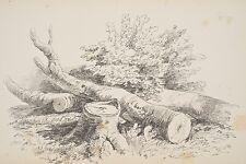 Etude d'arbres coupés Dessin original XIX° vers 1880