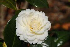 Camellia Plant Shrubs & Hedges