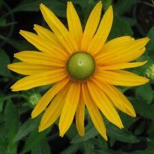 """30+ Rudbeckia """"Green Eyes"""" Flower Seeds / Deer Resistant/ Annual / Self-Seeding"""
