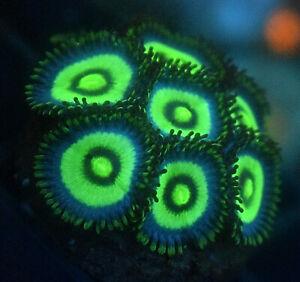 Blue Panama Zoa, 3 Heads Minimum, Soft coral frag