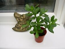 crassula ovata-the money tree-height 11.0 cms,triple stem