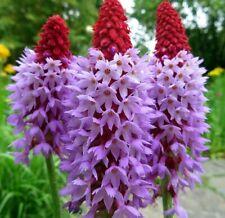 Primevère orchidée 50 graines-DES CENTAINES DE FLEURS Primula vialii