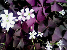 12 Purple Oxalis Triangularis Corms Tubers Shamrock Bulbs Perennial Flower Seeds