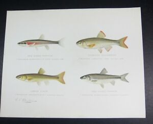 Denton Antique 1890s 4 image FISH Print - Red Nose & Side Minnow,Chub,Silverside