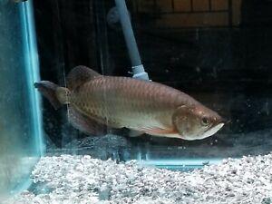 LIVE TROPICAL FISH -Australian jardini 12 Inches Arowana 🦈 Mouth