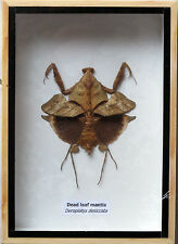 VERY RARE REAL DEAD LEAF MANTIS INSECT TAXIDERMY IN WOODEN BOX 7X5X1 INCH