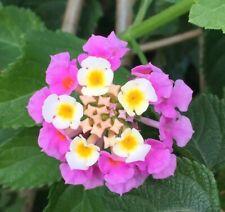 # 183 5 Samen Wandelröschen,Lantana Camara,weiß//rosa blühend