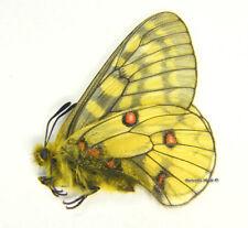 Unmounted Butterfly/Papilionidae - Parnassius eversmanni magadana, male, Russia