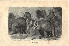 Stampa antica ORITTEROPO AARDVARK Orycteropus afer 1891 Old antique print