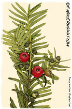 Taxus baccata 'English Yew' [Ex. Finchale Abbey, Co. Durham] 20+ SEEDS